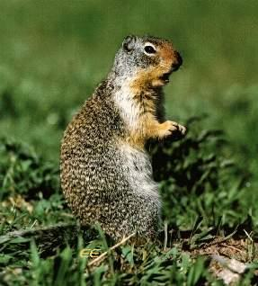 Columbian Ground Squirrel (Spermophilus columbianus) <!--콜럼비아땅다람쥐-->; Image ONLY