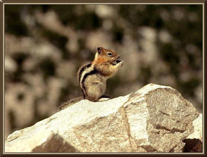 Golden-mantled Ground Squirrel (Spermophilus lateralis) {!--노란목덜미땅다람쥐-->; Image ONLY