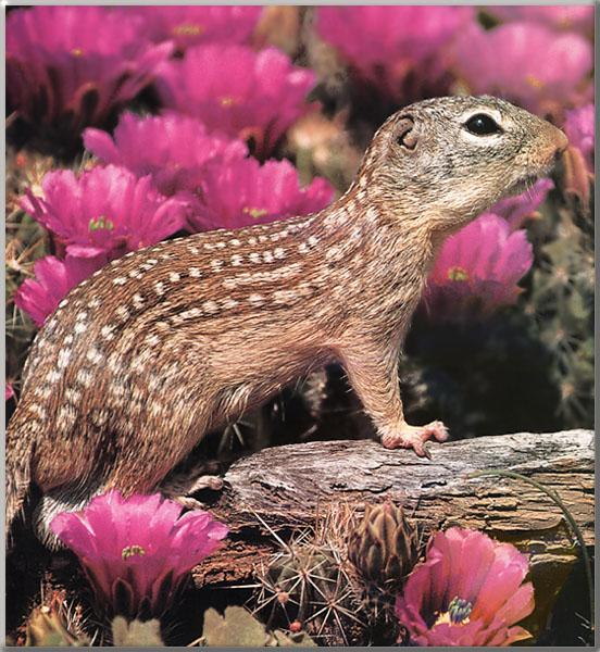 Mexican Ground Squirrel (Spermophilus mexicanus) <!--멕시코땅다람쥐-->; Image ONLY