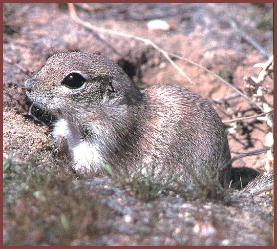 Mohave Ground Squirrel (Spermophilus mohavensis) <!--모하비땅다람쥐-->; Image ONLY