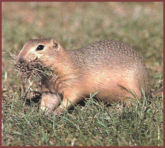 Richardson's Ground Squirrel (Spermophilus richardsonii) <!--리차드슨땅다람쥐-->; Image ONLY