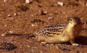 Thirteen-lined Ground Squirrel (Spermophilus tridecemlineatus) <!--열세줄땅다람쥐-->; Image ONLY