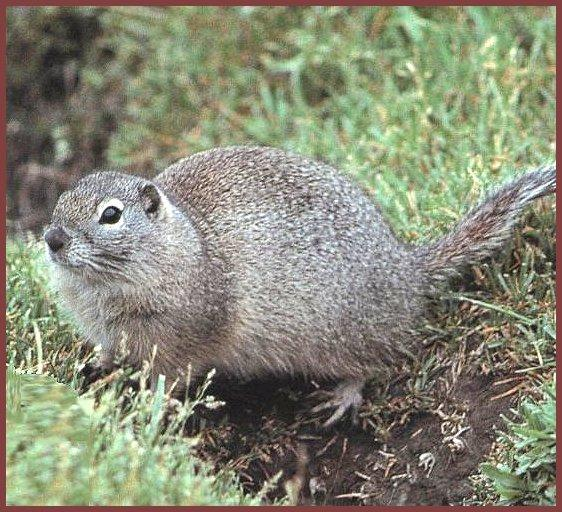 Townsend's Ground Squirrel (Spermophilus townsendii) <!--타운젠드땅다람쥐-->; Image ONLY