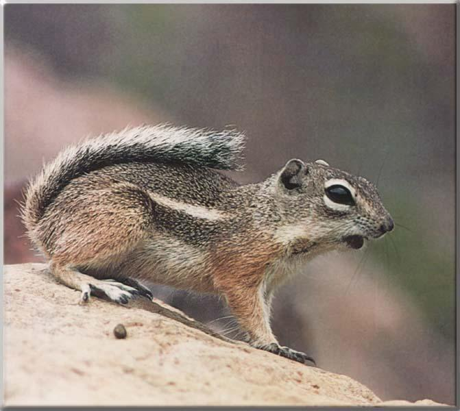 Texas Antelope Squirrel (Ammospermophilus interpres) {!--텍사스영양땅다람쥐-->; Image ONLY