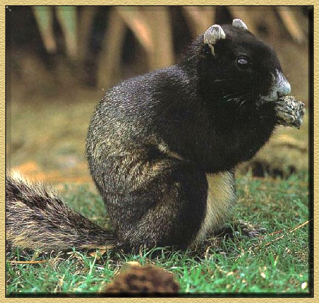 Eastern Fox Squirrel (Sciurus niger) <!--여우다람쥐-->; Image ONLY