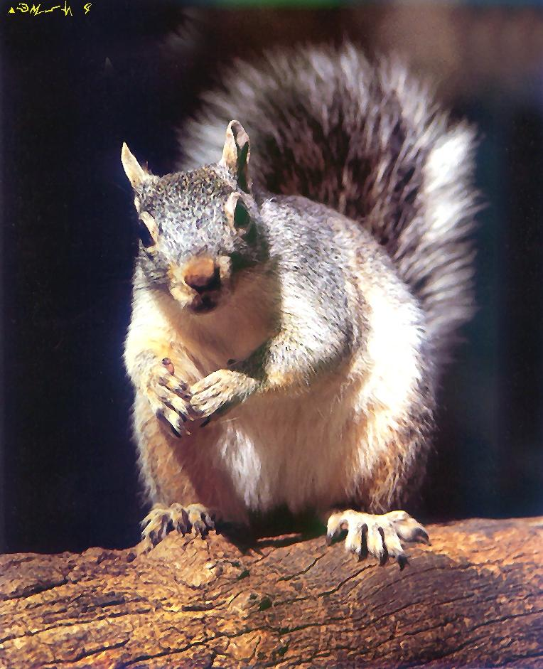 Eastern Gray Squirrel (Sciurus carolinensis) <!--(아메리카)동부회색다람쥐-->; Image ONLY