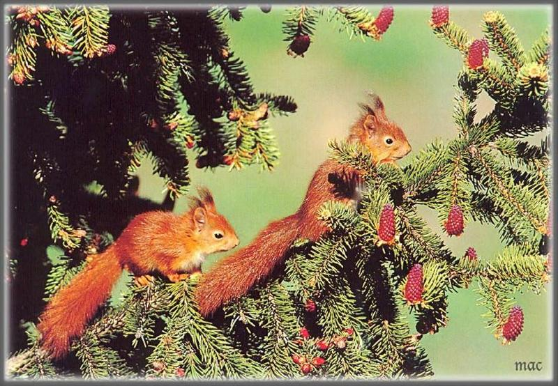 Eurasian Red Squirrel (Sciurus vulgaris) <!--청설모(스웨덴)-->; DISPLAY FULL IMAGE.