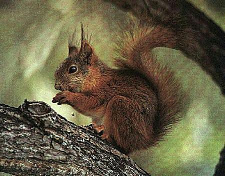 Eurasian Red Squirrel (Sciurus vulgaris) <!--청설모(스웨덴)-->; Image ONLY