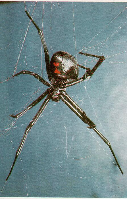 Black Widow Spider (Latrodectus mactans) <!--검은과부거미(검은독거미)-->; Image ONLY