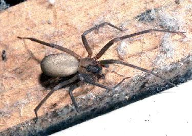 Brown Recluse Spider (Loxosceles reclusa) {!--갈색은둔거미(바이올린거미)-->; Image ONLY