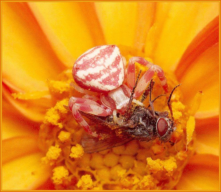 Crab Spider (Thomisidae) {!--게거미과-->; Image ONLY