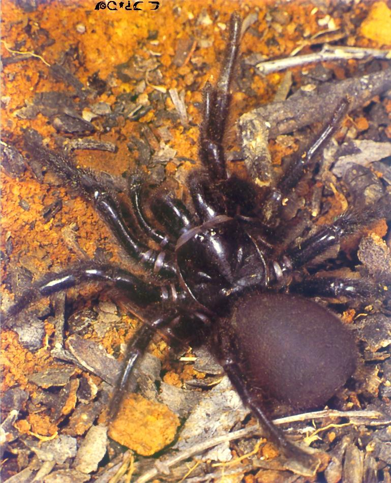 Sydney Funnel-Web Spider-closeup on ground.jpg