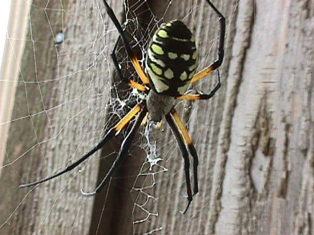 Golden Orb Spider (Nephila sp) <!--북미무당거미류-->; Image ONLY