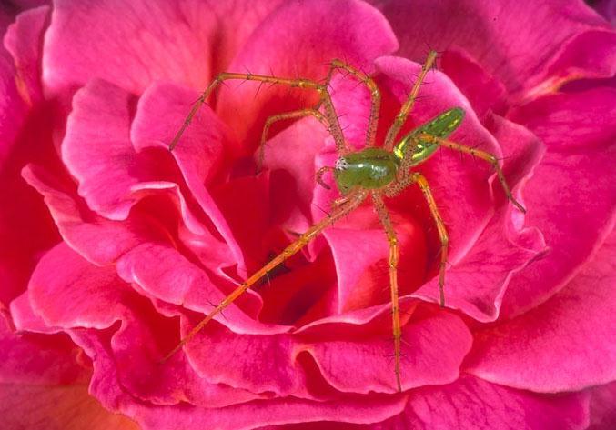 Lynx Spider-On Rose.jpg