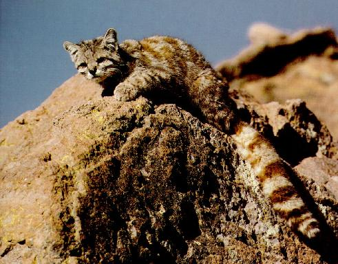 Andean Cat (Oreailurus jacobita) <!--안데스고양이-->; Image ONLY