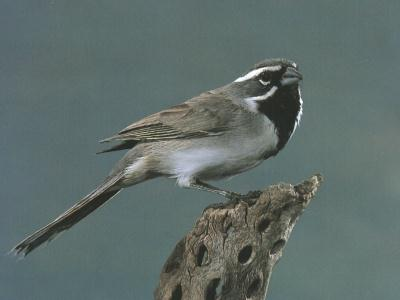 Black-throated Sparrow (Amphispiza bilineata) <!--검은턱멧참새-->; Image ONLY