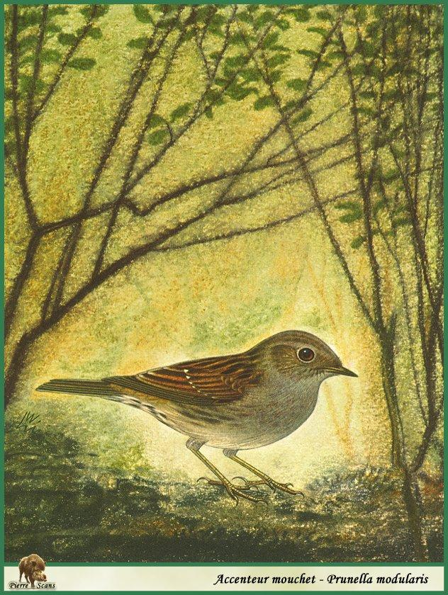 Dunnock/Hedge Accentor (Prunella modularis) <!--유럽억새풀종다리-->; Image ONLY