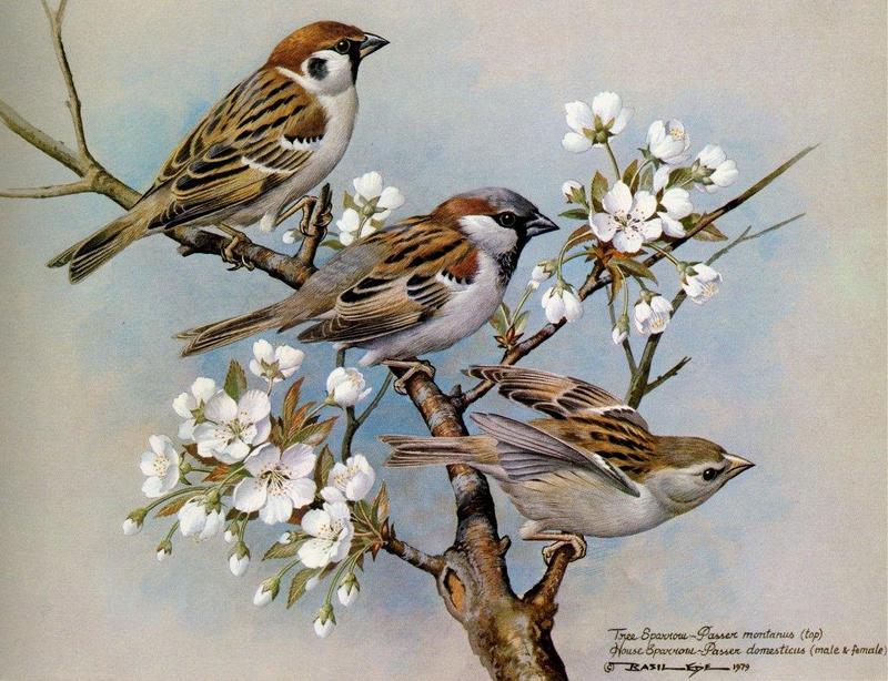 Tree Sparrow (Passer montanus) {!--참새-->; DISPLAY FULL IMAGE.