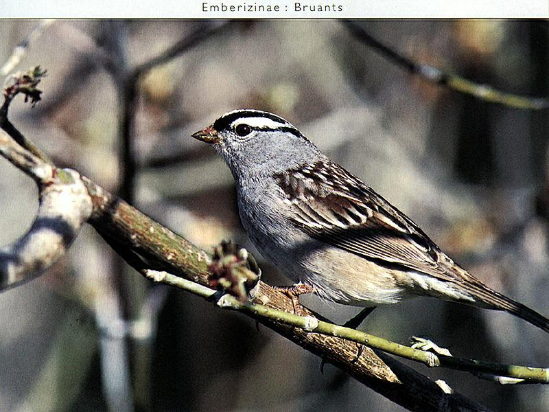White-crowned Sparrow (Zonotrichia leucophrys) <!--흰관멧참새-->; Image ONLY