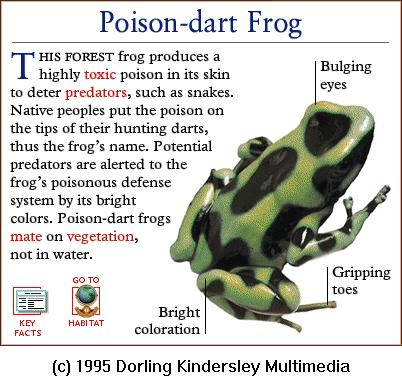 Green-and-black Poison Dart Frog (Dendrobates auratus) <!--흑록독개구리-->; Image ONLY