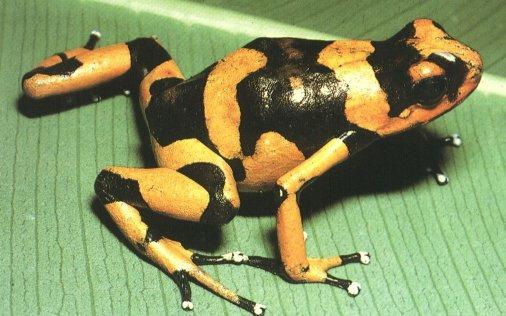 Yellow-banded Poison Dart Frog (Dendrobates leucomelas) {!--금줄독개구리-->; Image ONLY