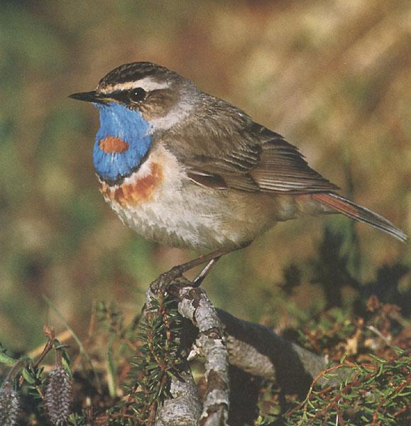 Bluethroat (Luscinia svecica) <!--흰눈썹울새-->; Image ONLY