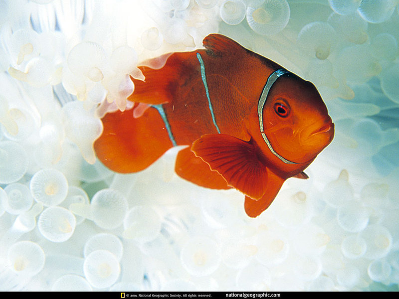 [National Geographic] Maroon Clownfish (붉은말미잘고기); DISPLAY FULL IMAGE.