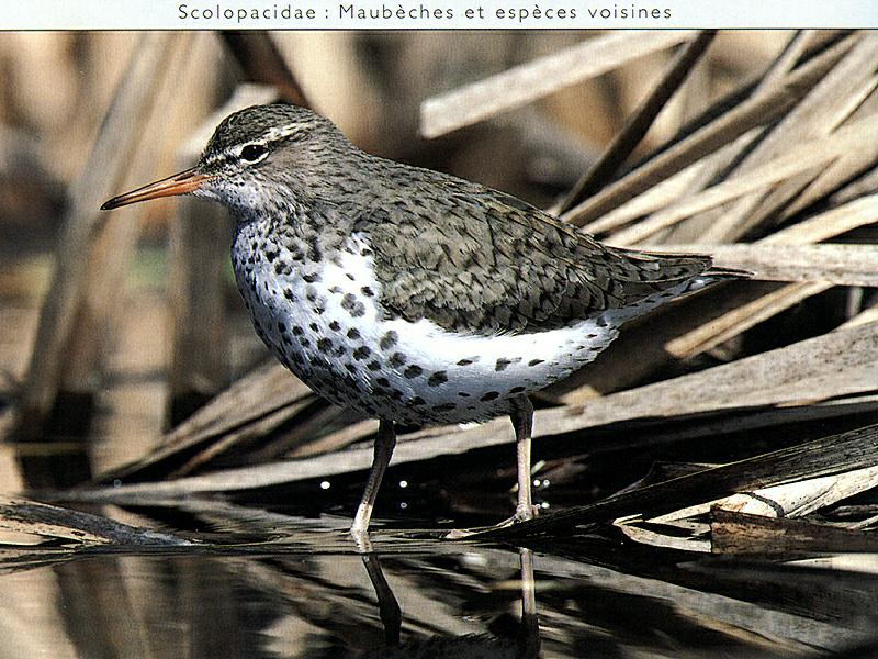 Spotted Sandpiper (Actitis macularia) {!--점박이도요-->; Image ONLY