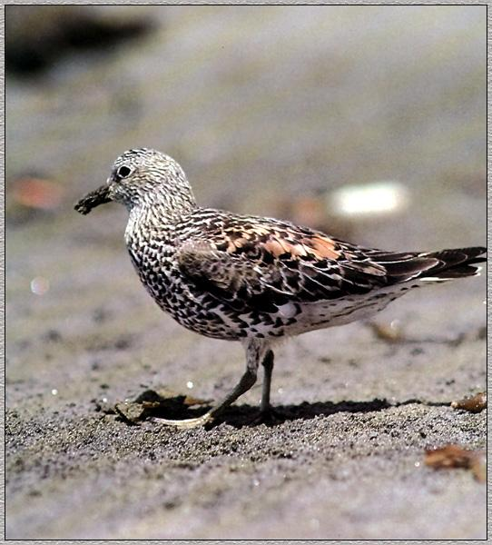 Surfbird (Aphriza virgata) <!--바다거품도요-->; Image ONLY