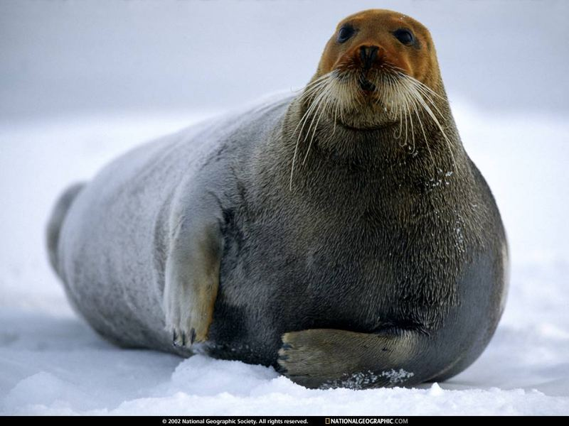 [National Geographic Wallpaper] Bearded Seal (콧수염물범); DISPLAY FULL IMAGE.