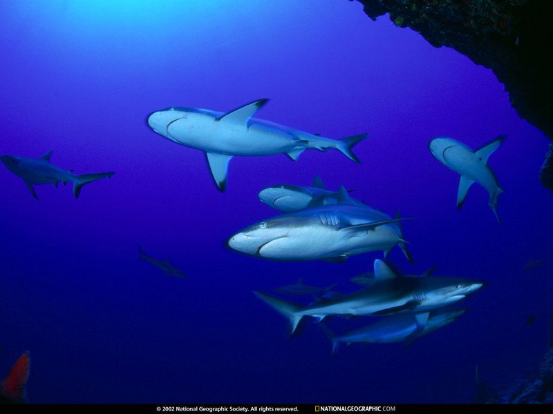 [National Geographic Wallpaper] Gray Reef Shark (회색암초상어); DISPLAY FULL IMAGE.