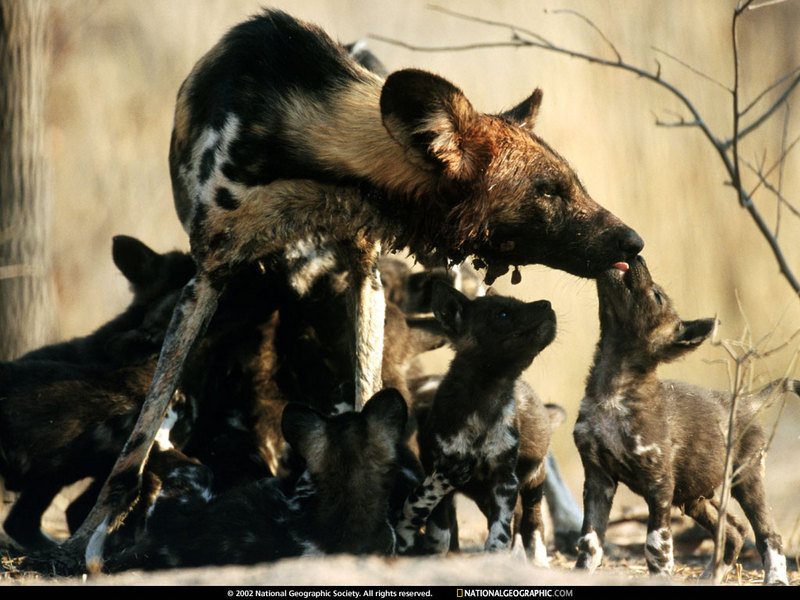 National Geographic Wallpaper] African Wild Dog family (아프리카 ...