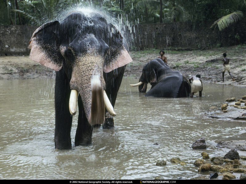 National Geographic Wallpaper Indian Elephant 인도코끼리
