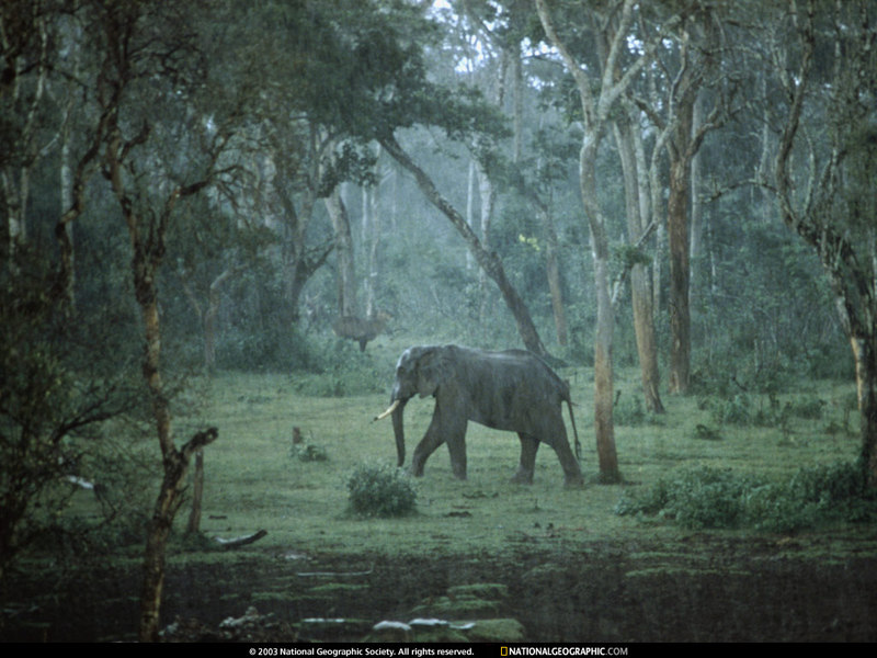 National Geographic Wallpaper African Elephant