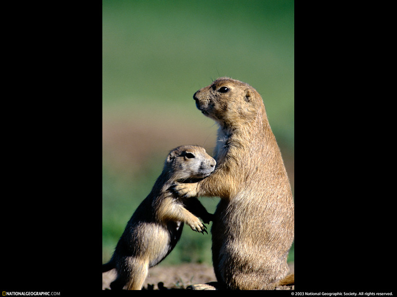 [National Geographic Wallpaper] Black-tailed Prairie Dog (검은꼬리개쥐); DISPLAY FULL IMAGE.