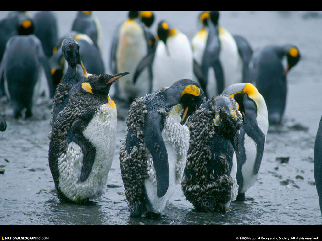 [National Geographic Wallpaper] King Penguin (임금펭귄); Image ONLY