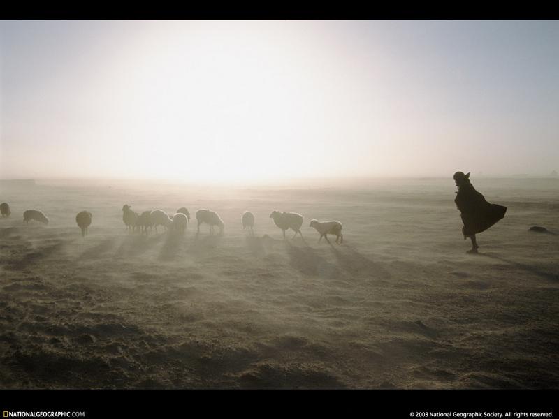 National Geographic Wallpaper Sheep Herd