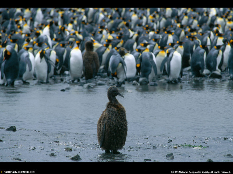[National Geographic Wallpaper] King Penguin (임금펭귄); DISPLAY FULL IMAGE.