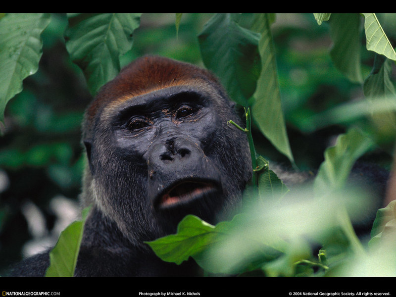 [National Geographic Wallpaper] Western Lowland Gorilla (저지고릴라); DISPLAY FULL IMAGE.