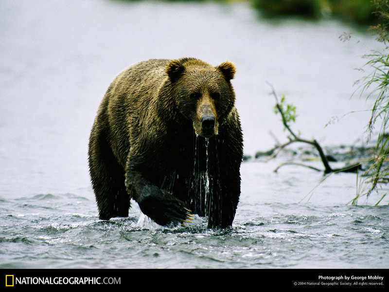 [National Geographic Wallpaper] Brown Bear (아메리카불곰); DISPLAY FULL IMAGE.