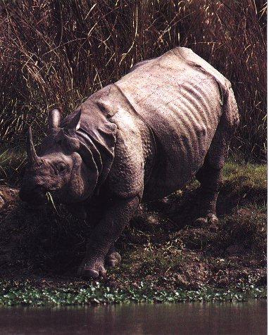 Indian Rhinoceros (Rhinoceros unicornis) <!--인도코뿔소-->; Image ONLY