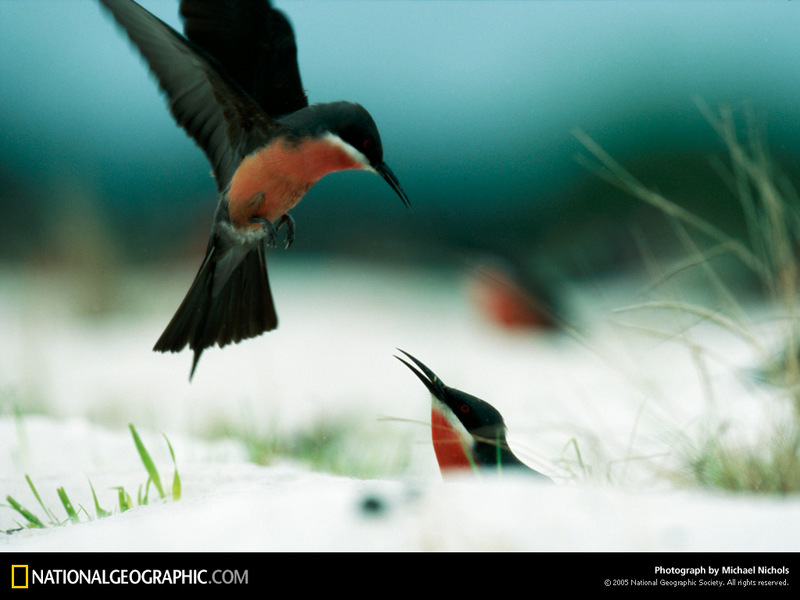 National Geographic Wallpaper] Rosy Bee-eater (붉은배벌잡이새