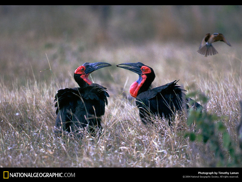 [National Geographic Wallpaper] Southern Ground Hornbill (아프리카코뿔새); DISPLAY FULL IMAGE.