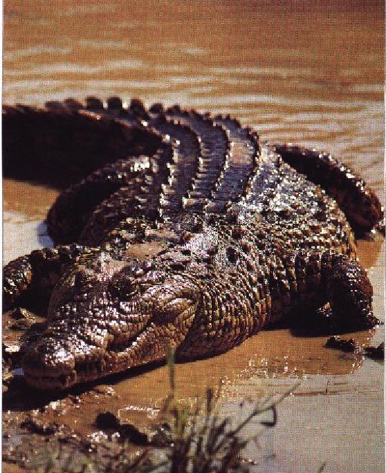 Nile Crocodile (Crocodylus niloticus) <!--나일악어-->; Image ONLY