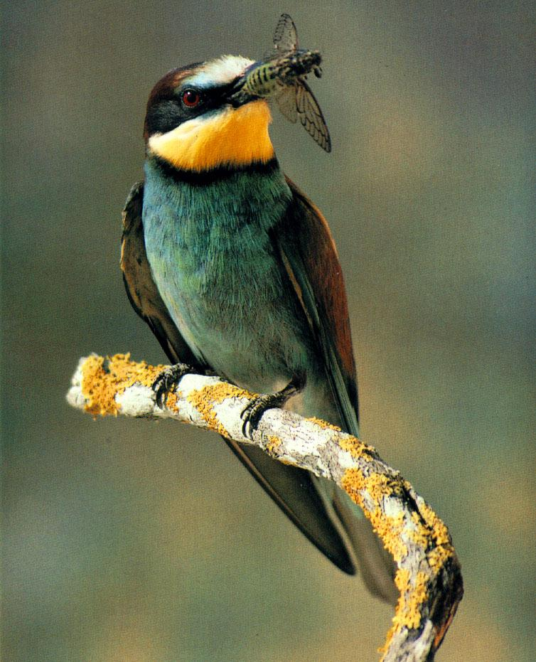wffb026-European Bee-eater-gets a Cicada.jpg