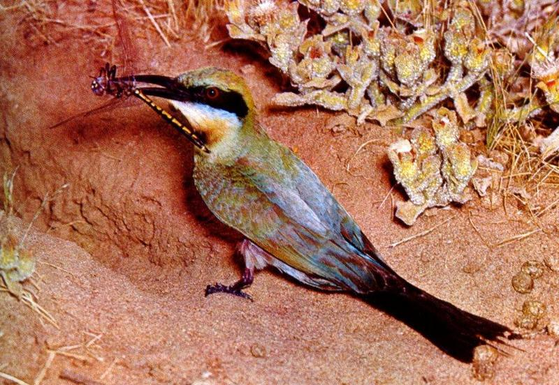 Rainbow Bee-eater (Merops ornatus) {!--무지개벌잡이새(호주)-->; DISPLAY FULL IMAGE.