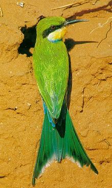 Swallow-tailed Bee-eater (Merops hirundineus) <!--제비꼬리벌잡이새(아프리카)-->; Image ONLY