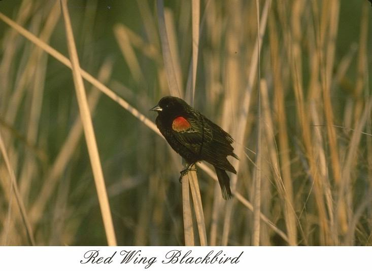 Red-winged Blackbird (Agelaius phoeniceus) <!--붉은어깨찌르레기사촌-->; Image ONLY
