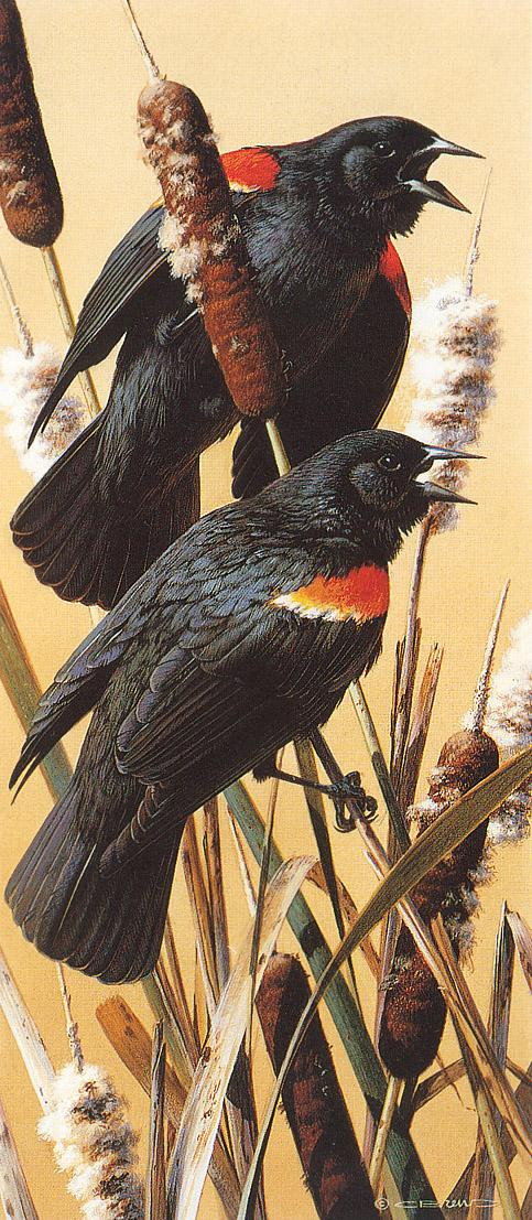 [Animal Art - Carl Brenders] Red-winged Blackbird (Agelaius phoeniceus) {!--붉은어깨찌르레기사촌-->; Image ONLY
