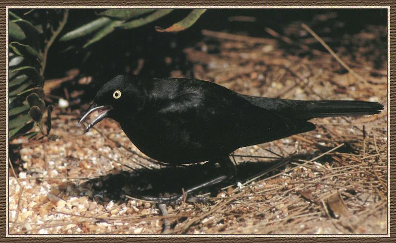 Rusty Blackbird (Euphagus carolinus) <!--재찌르레기사촌-->; Image ONLY